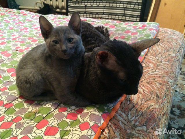 Корниш-рекс: покупка котенка фото, сколько стоит
