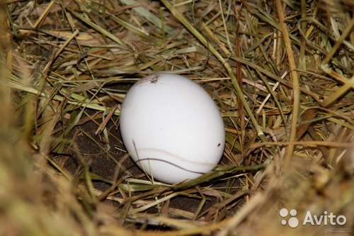 Stock image of yellow eggs in a nest of straw