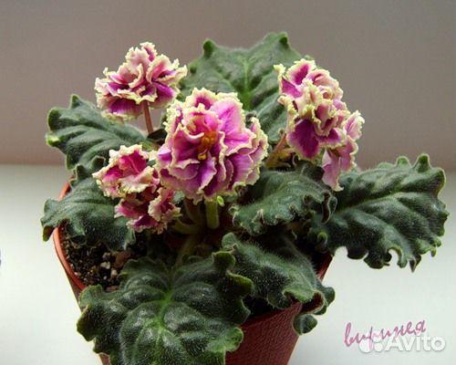 Каменный цветок фиалка и описание