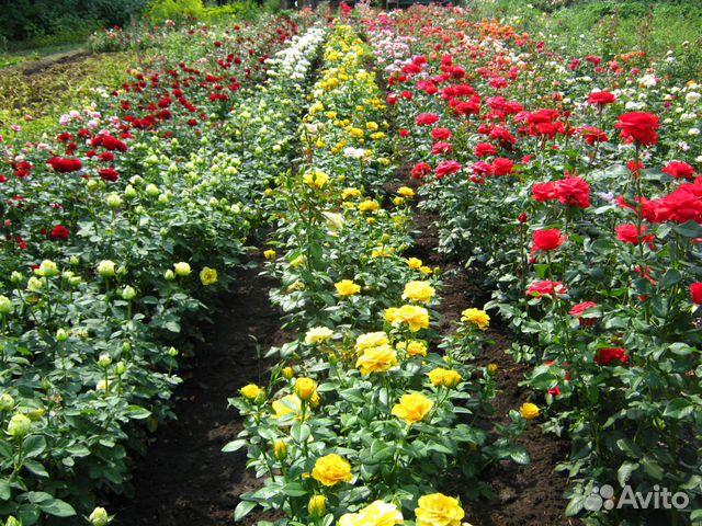 Каталог розы- продажа саженцев роз в минске с середины октября