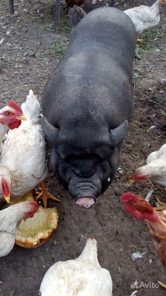 Породам свинью 8 месяцев