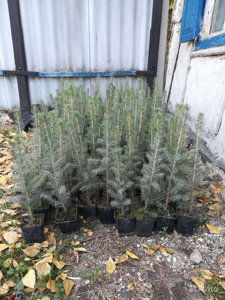 Растения в Ровеньках купить на Зозу.ру - фотография № 8