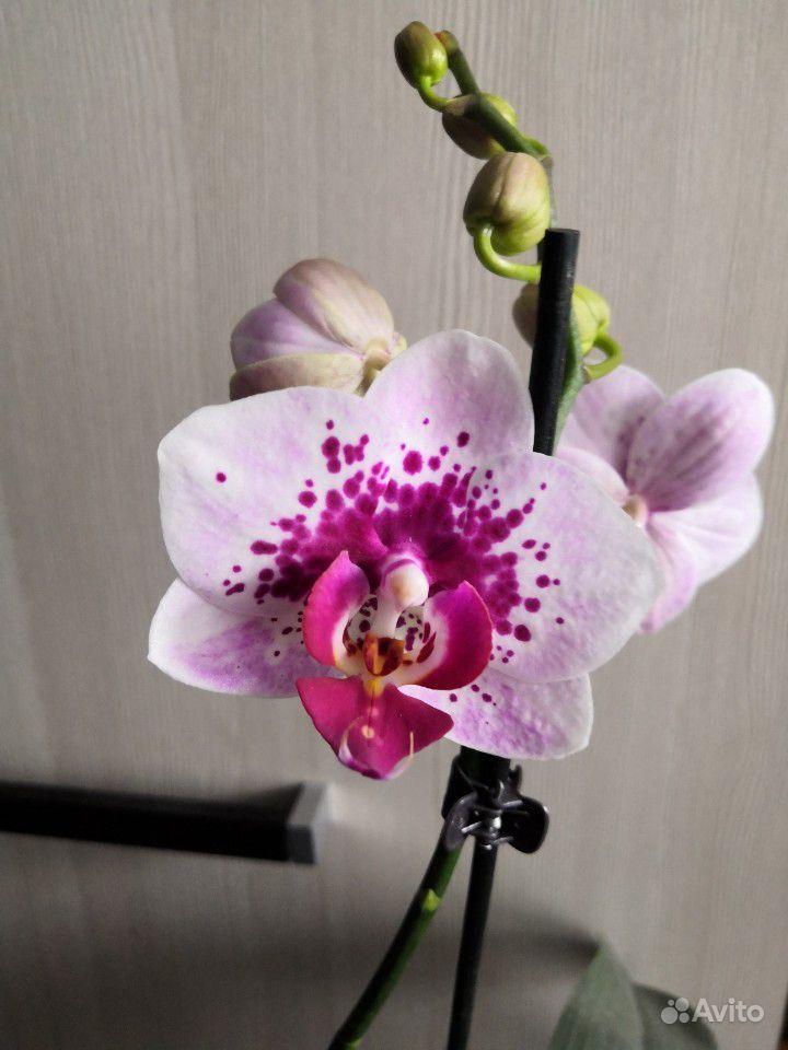 Орхидея фаленопсис купить на Зозу.ру - фотография № 4