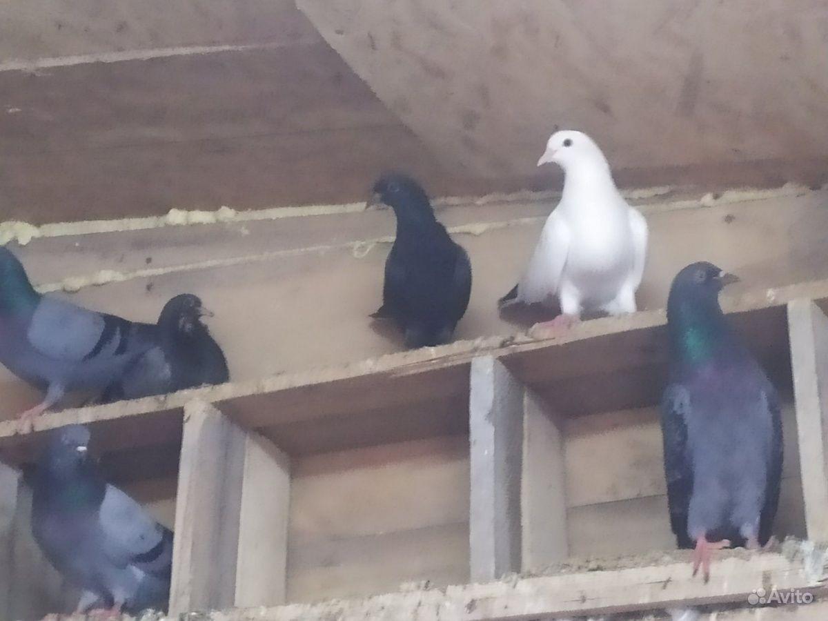 поясные бакинские голуби фото отлично