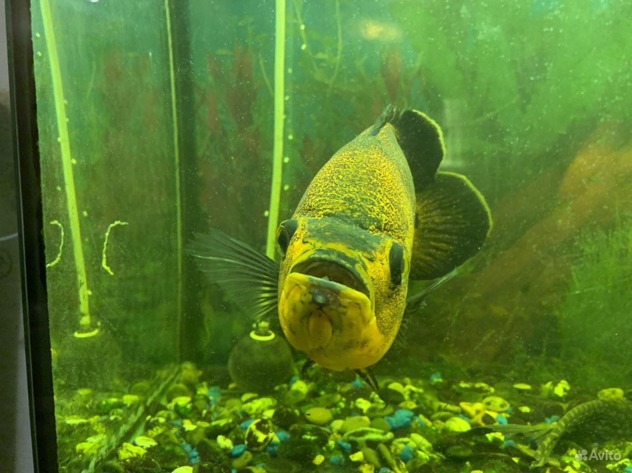 Рыба астрокотус купить на Зозу.ру - фотография № 2