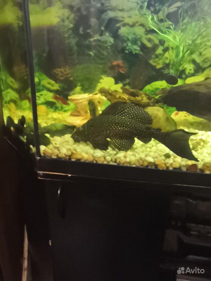 Продам рыбок купить на Зозу.ру - фотография № 7