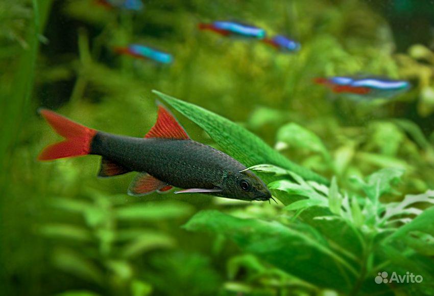Рыбка Лабео зеленый купить на Зозу.ру - фотография № 2
