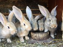 Кролики разных пород. доставка