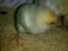 Бройлер Кобб-500 цыплята