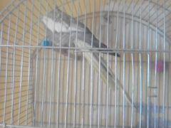 Попугай Карелла