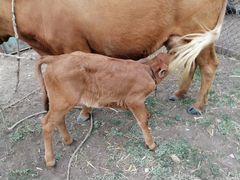 Корова с месясчным теленком