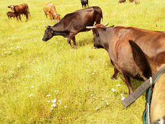 Продаетса корова 5 отелом