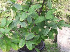 Продам дерево Лимон