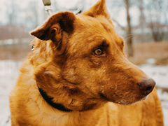 Трогательный пес Рыж из приюта ищет семью