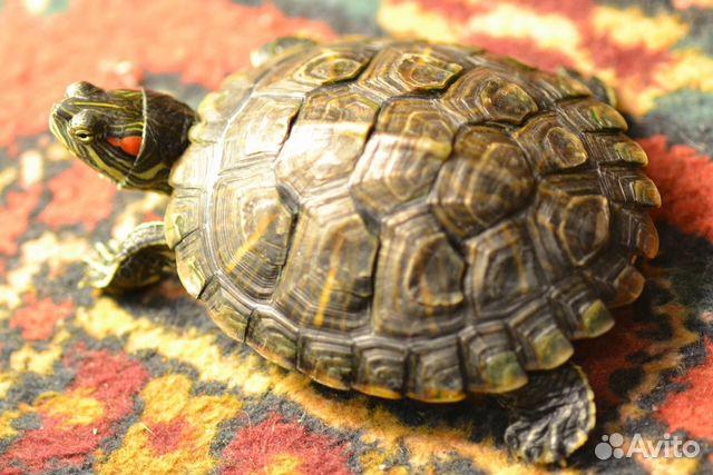 Окрас красноухой черепахи