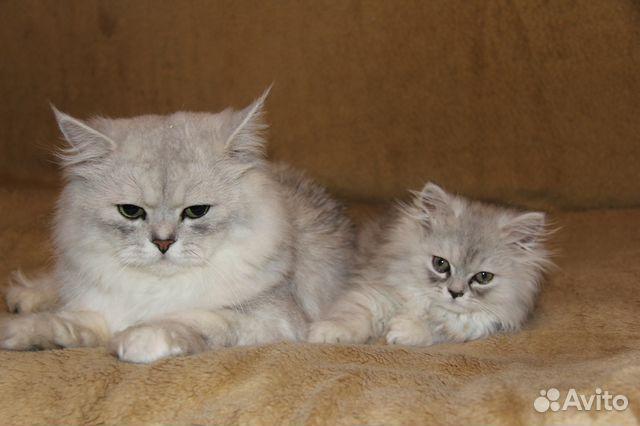 Объявления персидские котята куплю разместить объявление в свердловской области