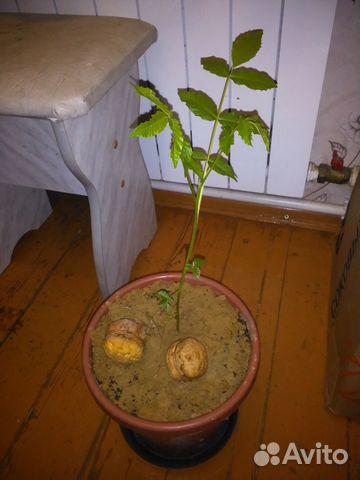 Как выглядит росток грецкого ореха фото начала усилю