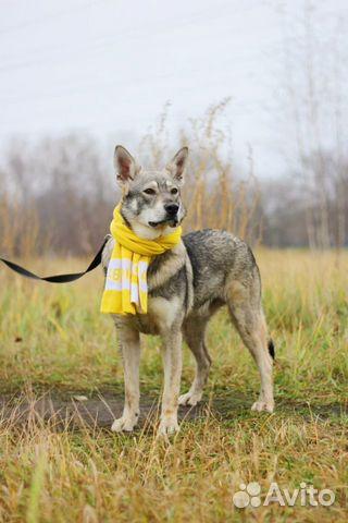 Собака в дар метис овчарки купить на Зозу.ру - фотография № 3
