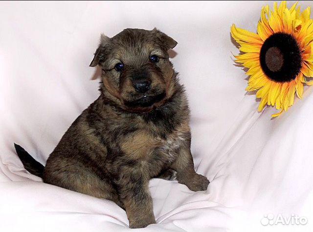 Собака купить на Зозу.ру - фотография № 4