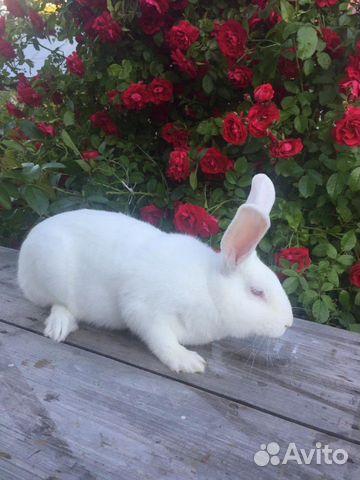 Кролики белый панон 89312168927 купить 1