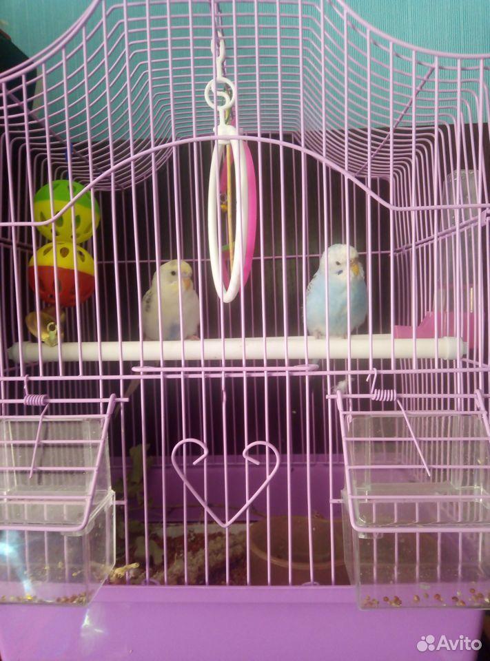 Попугаи птенцы мальчик и девочка с клеткой  89023112532 купить 4