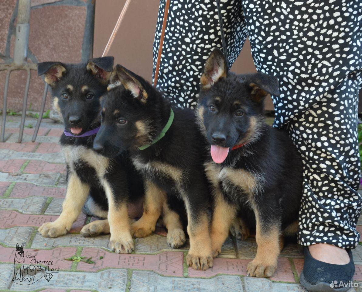 Немецкие овчарки  89514876465 купить 1