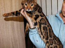 Шикарный кот ждёт кошечек — Кошки в Геленджике