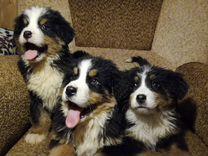 Большой ассортимент щенков