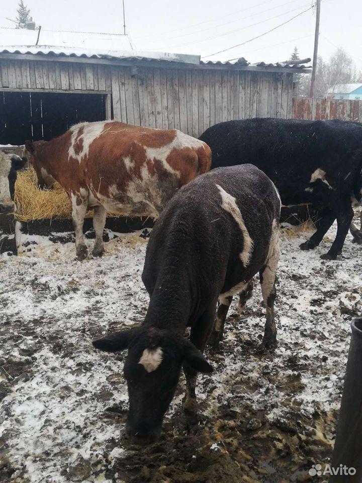 Корова  89507988407 купить 8