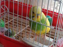 Продаю волнистого попугайчика
