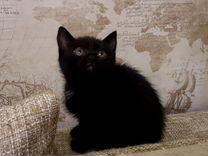 Котята Скоттиш-страйт (Шотландские прямоухие)