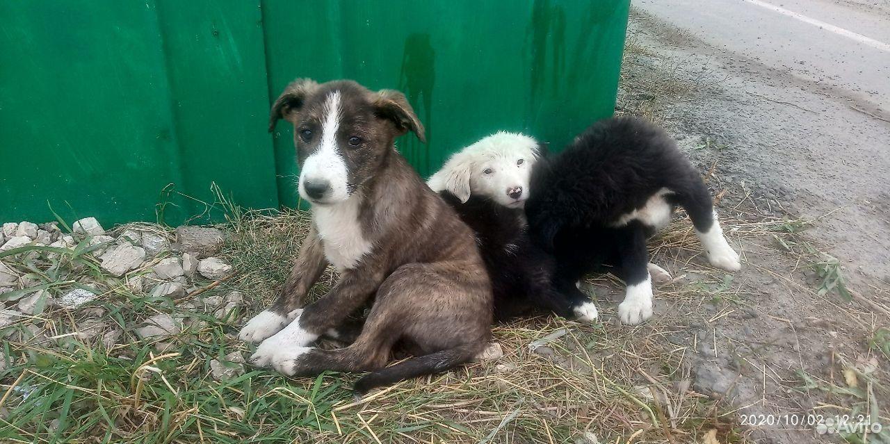 Прекрасные щенки  89308551668 купить 7