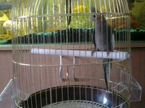 Корелла с новой клеткой 33 53 см