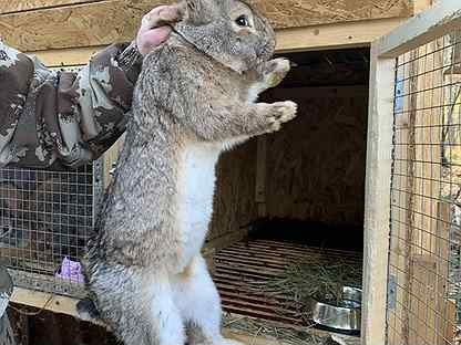 Кролики Фландры на племя