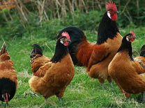 Голландская белохохлая черная,Форверк