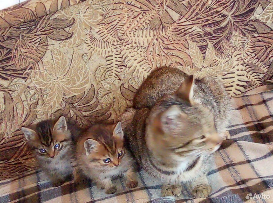Котята мальчик и девочка  89965001605 купить 2